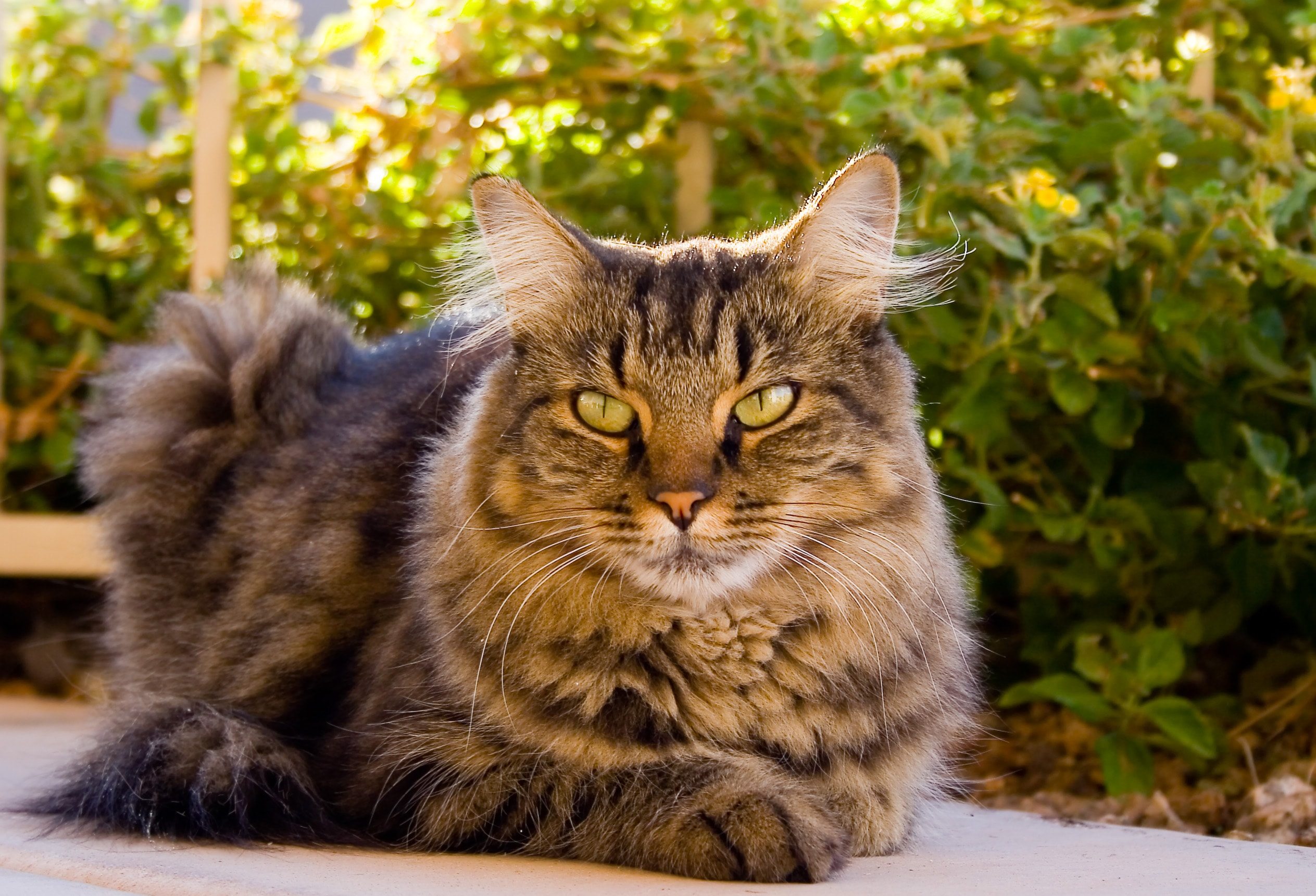 Research says cats have healing powers Tabby Cat