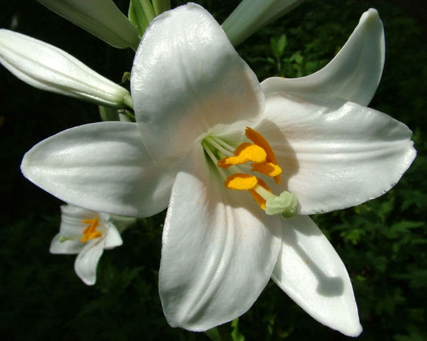 images of easter lilies. Easter lilies are highly