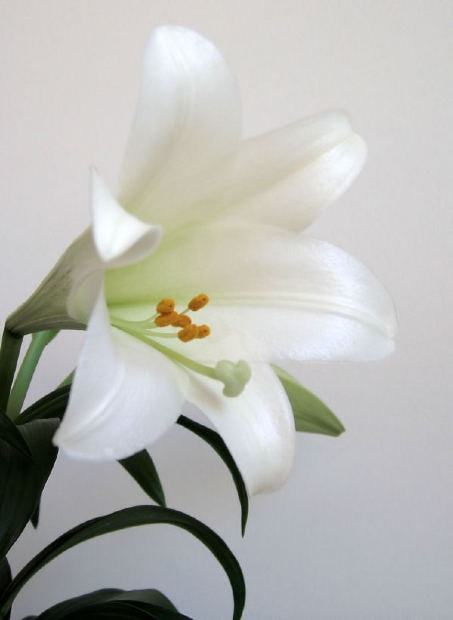 images of easter lilies. ingested Easter lilies.