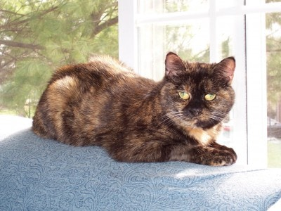 Quot Tortitude Quot The Unique Personality Of Tortoiseshell Cats
