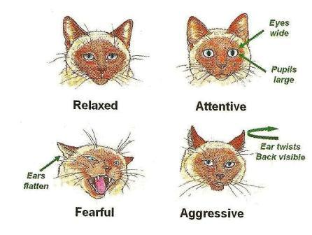 Cat Ear Position Meanings