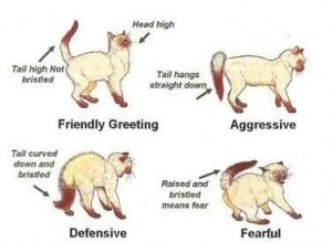 cat body language tail