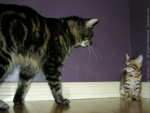 Should You Introduce A Kitten To An Older Cat