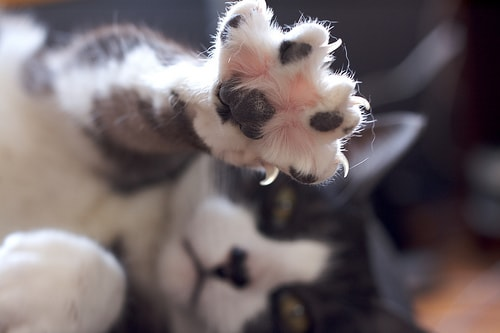 Declawing Cats Inhumane And Unneccesary The Conscious Cat
