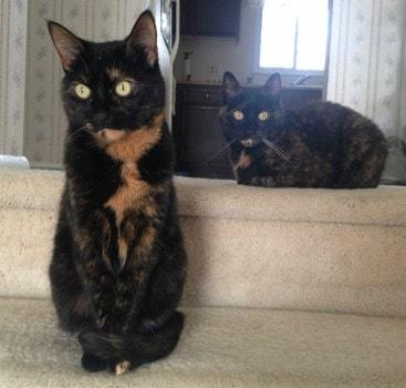 tortoiseshell_cats