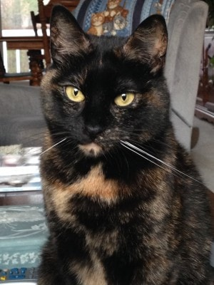 Tortitude the unique personality of tortoiseshell cats fact or fiction the conscious cat - Images of tortoiseshell cats ...