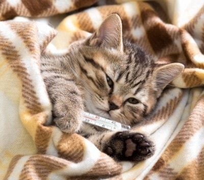 Image result for cat with thermometer