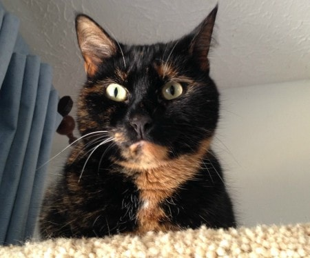 Conscious_Cat_Sunday_tortoiseshell_cat