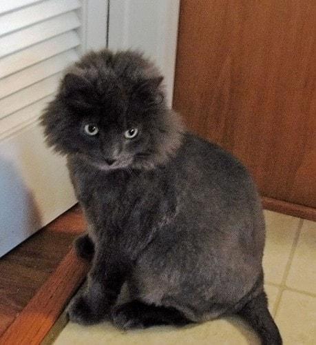 lion-cut-cat