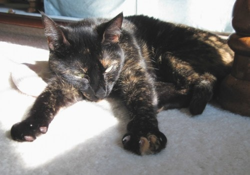 tortoise-shell-cat-in-the-sun