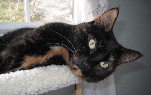Allegra-tortoiseshell-cat