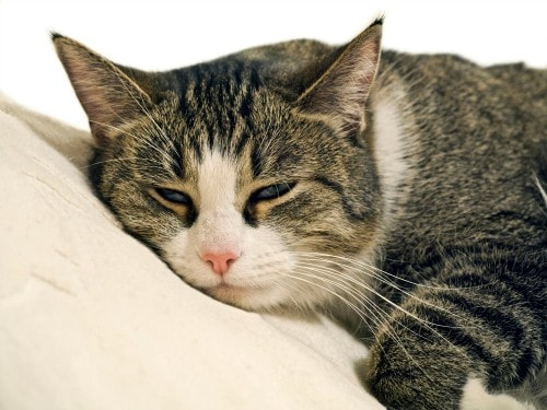 L Lysine For Cat Eye Infection