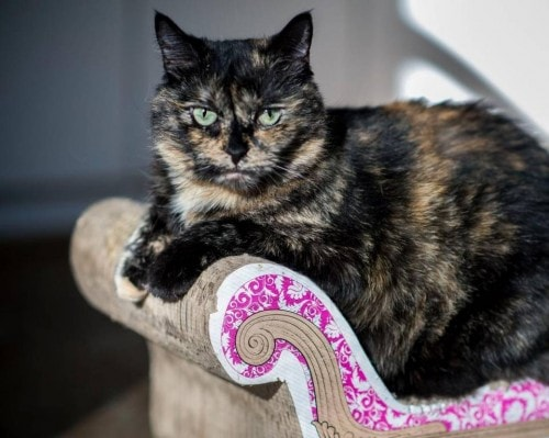 Uc davis study finds that torties and calicos are more challenging the conscious cat - Images of tortoiseshell cats ...