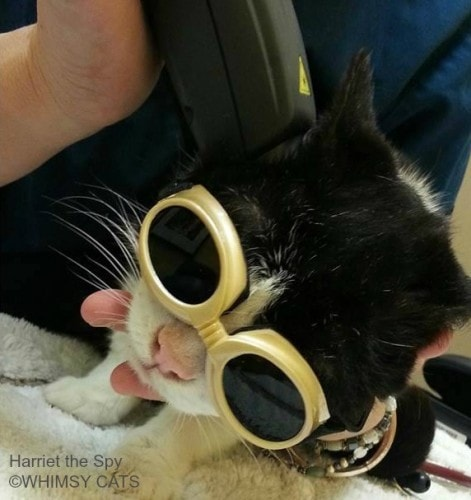 Benefits Of Laser Therapy For Cats The Conscious Cat