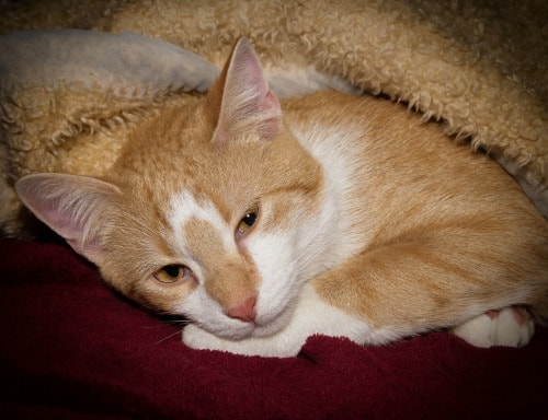 Can Cat Flu Spread To Dogs