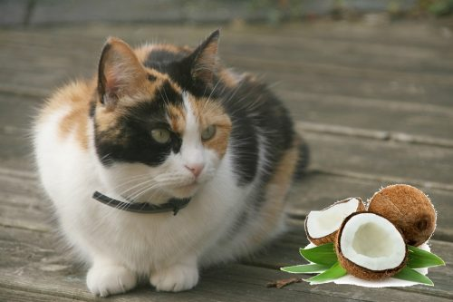 Questions about coconut oil keep coming up, so I thought I'd explain in why I recommend not giving it to their cats and dogs. Humans evolved where coconut palms naturally grow. Primates, including early humans, ate, and still eat, coconuts. Coconut is a natural food for us. The carnivore's natural diet is high in both protein and animal fat.