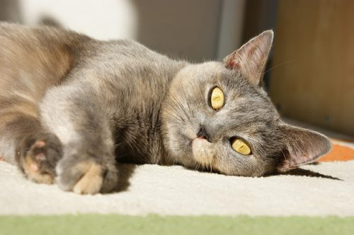 Kidney Transplants For Cats The Conscious Cat