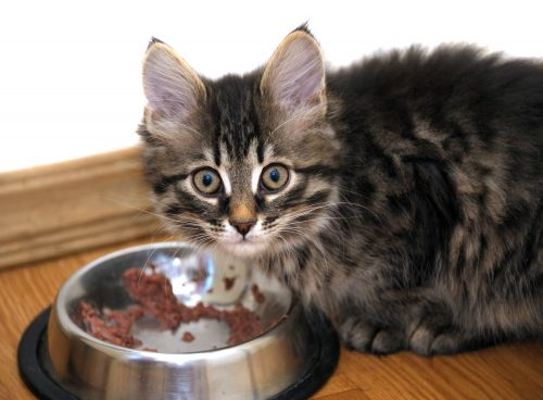 Cat Not Eating Liver Disease