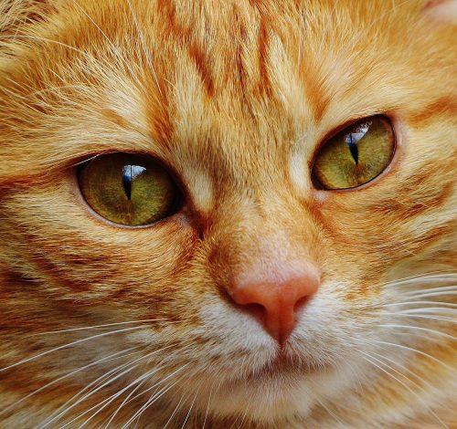 Common Feline Eye Problems The Conscious Cat