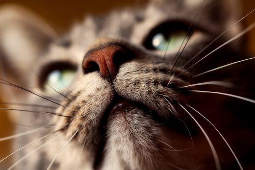 Cat Single White Whisker