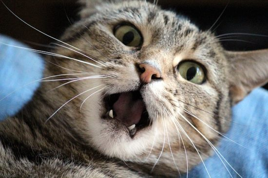 The Connection Between Dental Disease And Kidney Disease In Cats The Conscious Cat