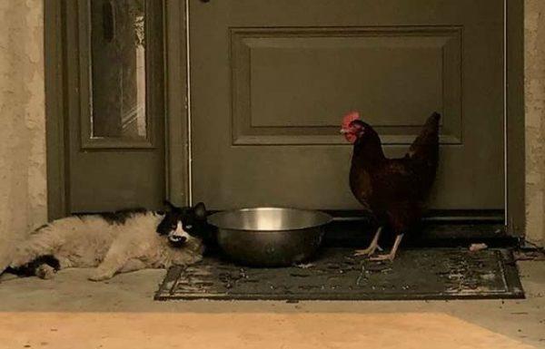 cat-chicken-wildfire