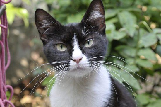 tuxedo-cat