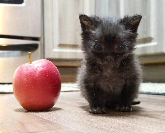 tiny-kitten-apple