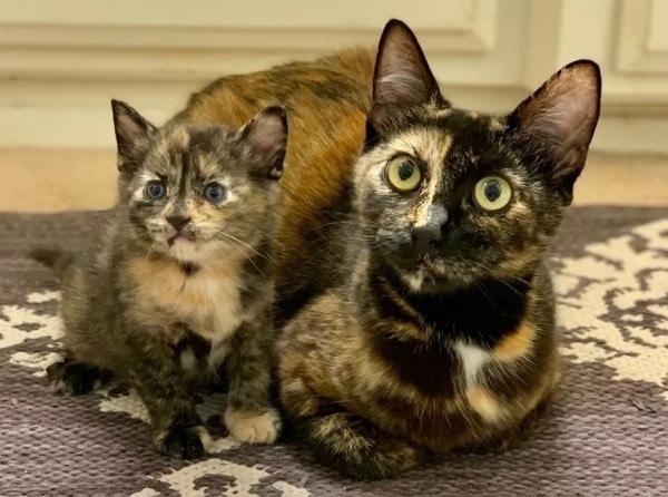 tortoiseshell-cat-kitten
