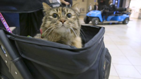 stitches-therapy-cat-airport