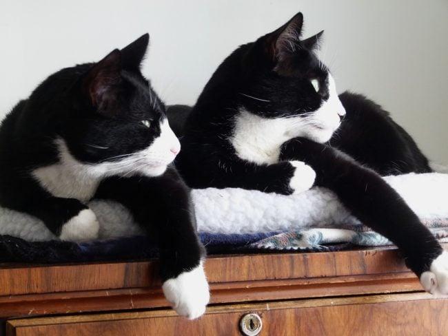 cat-white-paws