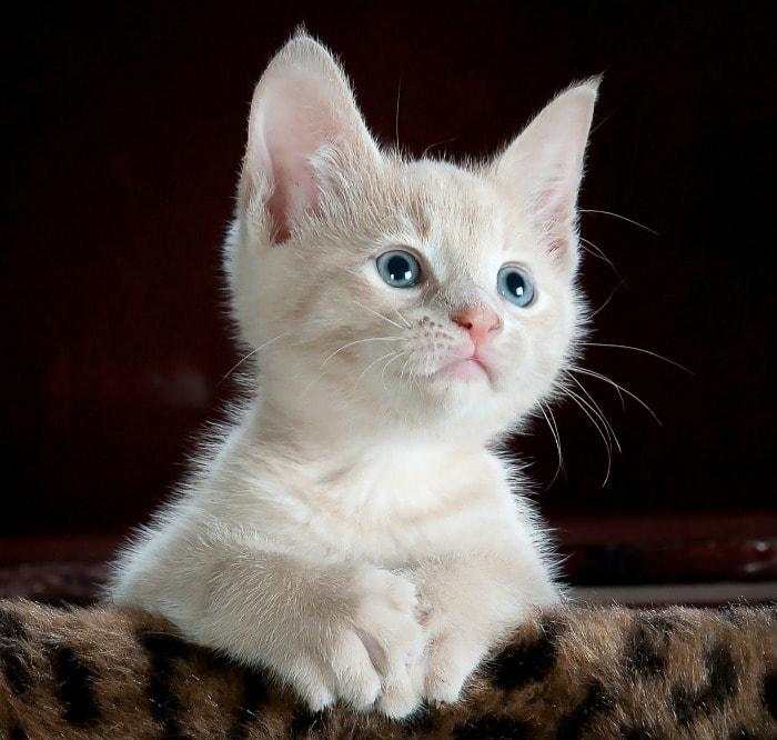 powerpoint-cat-kitten