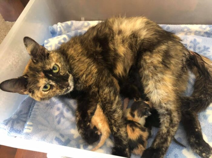 camilla-tortie-kittens
